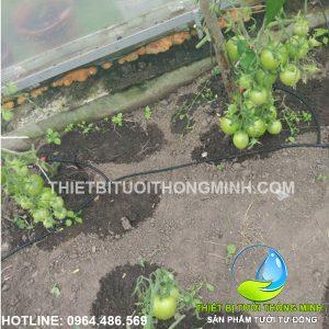 Lắp đặt tưới nhỏ giọt cây cà chua trong nhà kính quy mô nhỏ
