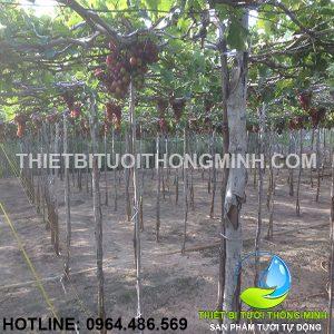 Lắp đặt tưới vườn nho phun mưa tự động phan rang